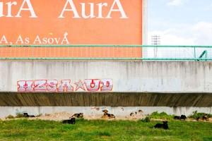 bosniadogs